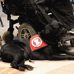 Service dog lying at the feet of its owner